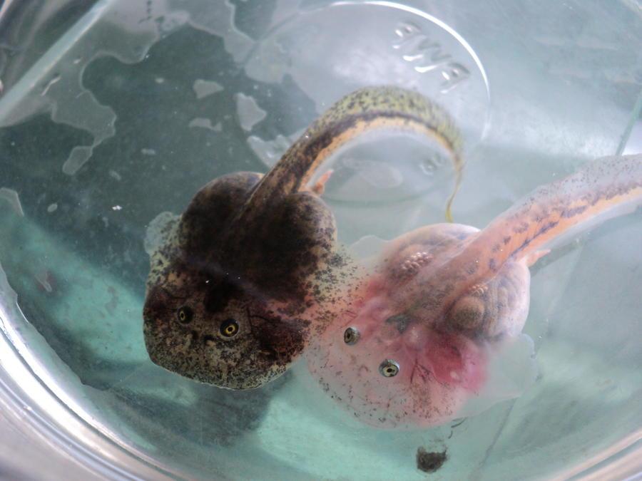 tadpole buddies